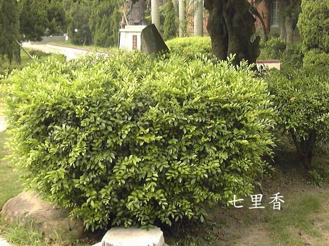 庭园绿篱,盆景观赏. 另外,桂花别名:九里香,木樨,丹桂,金桂,岩桂